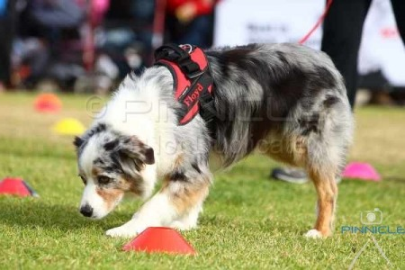 Dogs NSW - Dogs On Show - 13th June 2015 - Nosework Demo