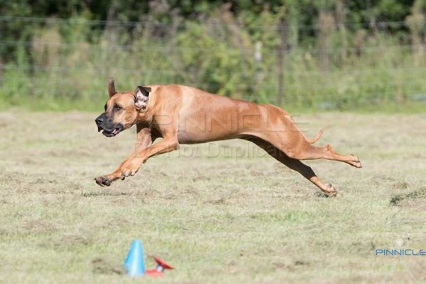 Lure Coursing - The Saluki Club (NSW) Inc - 14th April 2017