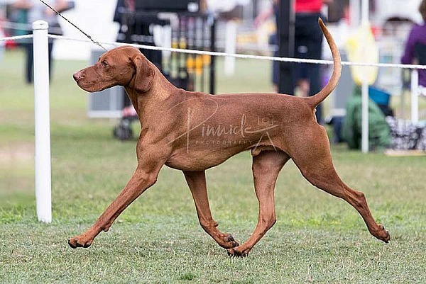 Show - Hungarian Vizsla Club of NSW - 21st April 2019