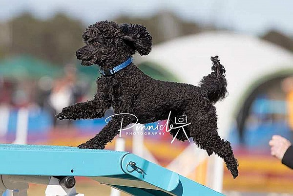 Agility - ANKC - Dogs NSW State Titles - 7 September 2019