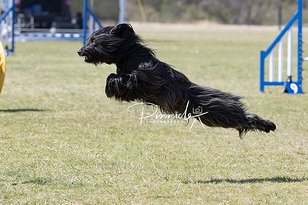 Agility - ANKC - Dogs NSW State Titles - 8 September 2019